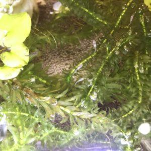 メダカが水草に隠れている画像|高知デザイン注文住宅SAI